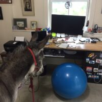 Donkey inside an office