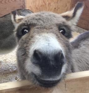 Worried donkey